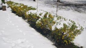 Anormales Wetter im April Frühlings-Park mit grünen Büschen und den Bäumen bedeckt mit Schnee stock video