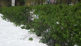 Anormales Wetter im April Frühlings-Park mit grünen Büschen und den Bäumen bedeckt mit Schnee stock video footage