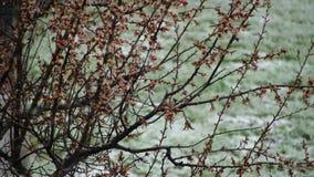 Anormales Wetter Schnee geht auf den blühenden Baum von Aprikosen im April stock video footage