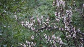 Anormales Wetter Schnee geht auf den blühenden Baum von Aprikosen im April Langsame Bewegung stock footage