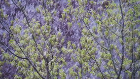 Anormales Wetter Schnee geht auf die grünen Bäume und verlässt im April am Frühling Langsame Bewegung stock video