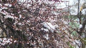 Anormalna pogoda w Kwietniu w wiośnie Spadać drzewa po śnieżycy zbiory wideo