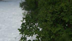 Anormalna pogoda w Kwietniu Wiosna park z Zielonymi krzakami i drzewami Zakrywającymi z śniegiem zbiory