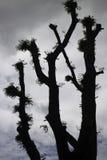 Anormalny formularzowy shilouette drzewo z chmurnym niebem obrazy stock