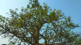 400 anos de árvore velha Fotos de Stock Royalty Free