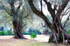300 anos de oliveiras velhas Jardim france Imagens de Stock Royalty Free