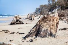 3000 anos de troncos de árvore velhos na praia após a tempestade Parque nacional de Slowinski, mar Báltico, Polônia Foto de Stock