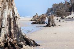 3000 anos de troncos de árvore velhos na praia após a tempestade Parque nacional de Slowinski, mar Báltico, Polônia Imagens de Stock Royalty Free