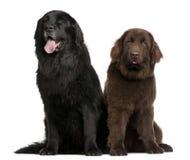 Anos dos cães de Terra Nova 7 e 10, velhos, sentando-se Imagem de Stock