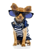 2 anos velho) vidros vestindo da chihuahua (, sentando-se Imagem de Stock Royalty Free