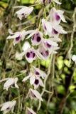 Anosmum del Dendrobium in fiori bianchi e porpora Fotografie Stock