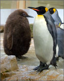 Another. Nice penguin filmed in Austria Vienn zoo one funny walker animal Royalty Free Stock Photography