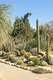 Another Cactus Garden. A variety of cacti species in a formal cactus garden royalty free stock images