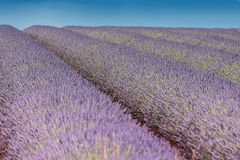 Another champ de Lavande, Valensole, Provence Royalty Free Stock Photos