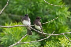 Another day of surviving in the park. Mother Black Phoebe bird keeping watchful eye on her larger and fuzzier offspring royalty free stock image