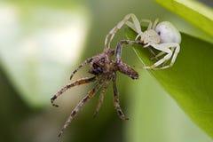 another fångar spindeln Royaltyfri Fotografi