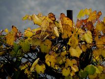 Grape leaves pulling on the fence royalty free stock photography