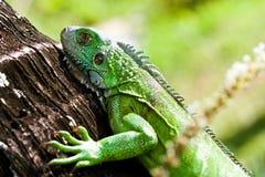 Green iguana day. Tree iguana resting in the caribbean sunshine Stock Photo