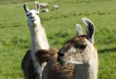 Another Llama photo bomb. Royalty Free Stock Photography
