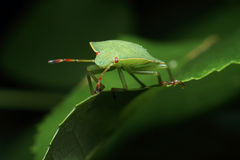 Another macro bug. Another shot from the macro world Royalty Free Stock Photography