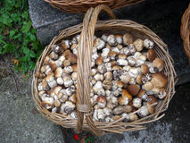 Another mushroom chest. Another chest, full of mushrooms stock photography