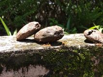 Mongo nuts2 stock photos