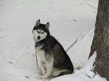 Another picture of nala. Huskey in the snow Stock Photo