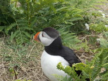 another puffin royalty free stock photography