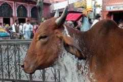 Another sacred cow in Jaipur. Sacred cow on the steets of Jaipur Stock Photos