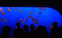 Another shot of Jellyfish exhibit at aquarium. I love the silhouettes, jellyfish and bright blue colors at work here Stock Photography