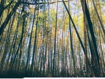 Another View of Arashiyama Bamboo Park. Another insight from the inside of Arashiyama Bamboo Park in Kyoto, Japan Stock Photography