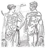 anotomical diagrama ilustracyjny medyczny rocznik Fotografia Royalty Free