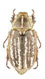 Anoxia orientalis. Female of Anoxia orientalis isolated on white background Stock Photo