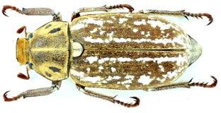 Anoxia orientalis Coleoptera, Scarabaeidae -/ obraz stock