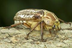 Anoxia orientalis / oriental maybug Stock Images