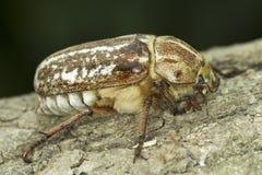Anoxia orientalis / oriental maybug Royalty Free Stock Image