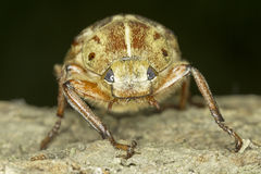 Anoxia orientalis / oriental maybug Stock Image