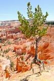 Anpassungsfähigkeit des wachsenden Baums Stockfoto