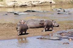 anphibius hipopotam Obraz Royalty Free