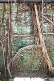 Anping-Baum-Haus Dieses alte Lager wird vorbei sich verzweigte von der alten Banyanbaumniederlassung bedeckt, die ist Stockbilder