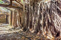 Anping trädhus Detta gamla lager täckas förbi förgrena sig av den forntida Banyanträdfilialen som är Royaltyfri Fotografi