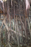 Anping Tree House. This old warehouse is covered by branched of ancient Banyan Tree branch which is Royalty Free Stock Photography