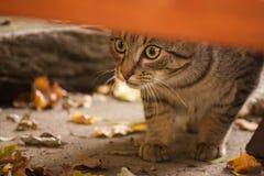 Anpirschende Katze der getigerten Katze Stockfoto