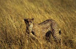 Anpirschender Gepard Stockbilder
