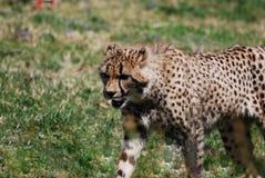Anpirschender Gepard auf einem Grasland Stockfotos
