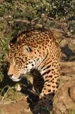 Anpirschender Jaguar Stockfotografie