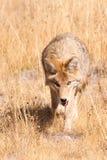 Anpirschender Kojote Stockbilder