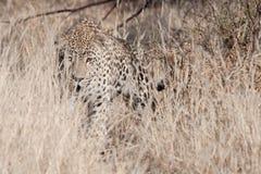 Anpirschender Leopard Stockbild