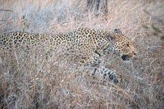 Anpirschender Leopard Lizenzfreie Stockbilder