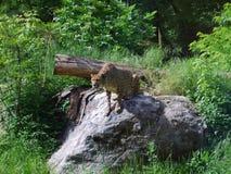 Anpirschender Leopard lizenzfreies stockfoto